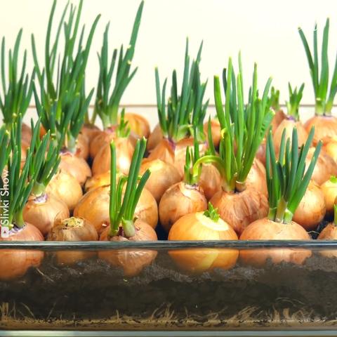 ¡Te mostramos cómo sembrar cebolla en casa!