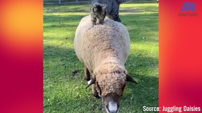 Sheep are like an entire mattress
