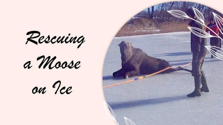 Rescuing a Moose on Ice