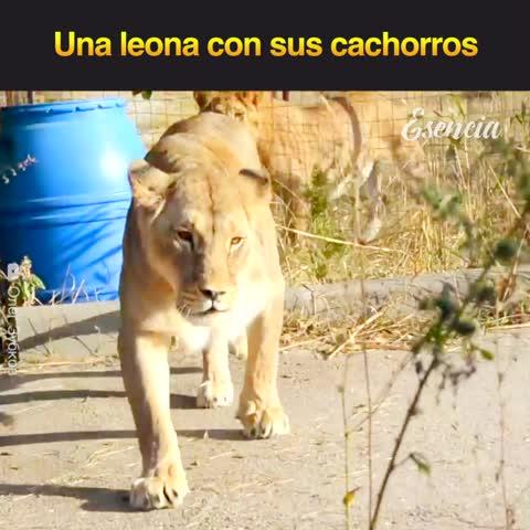 Una leona con sus cachorros recién nacidos