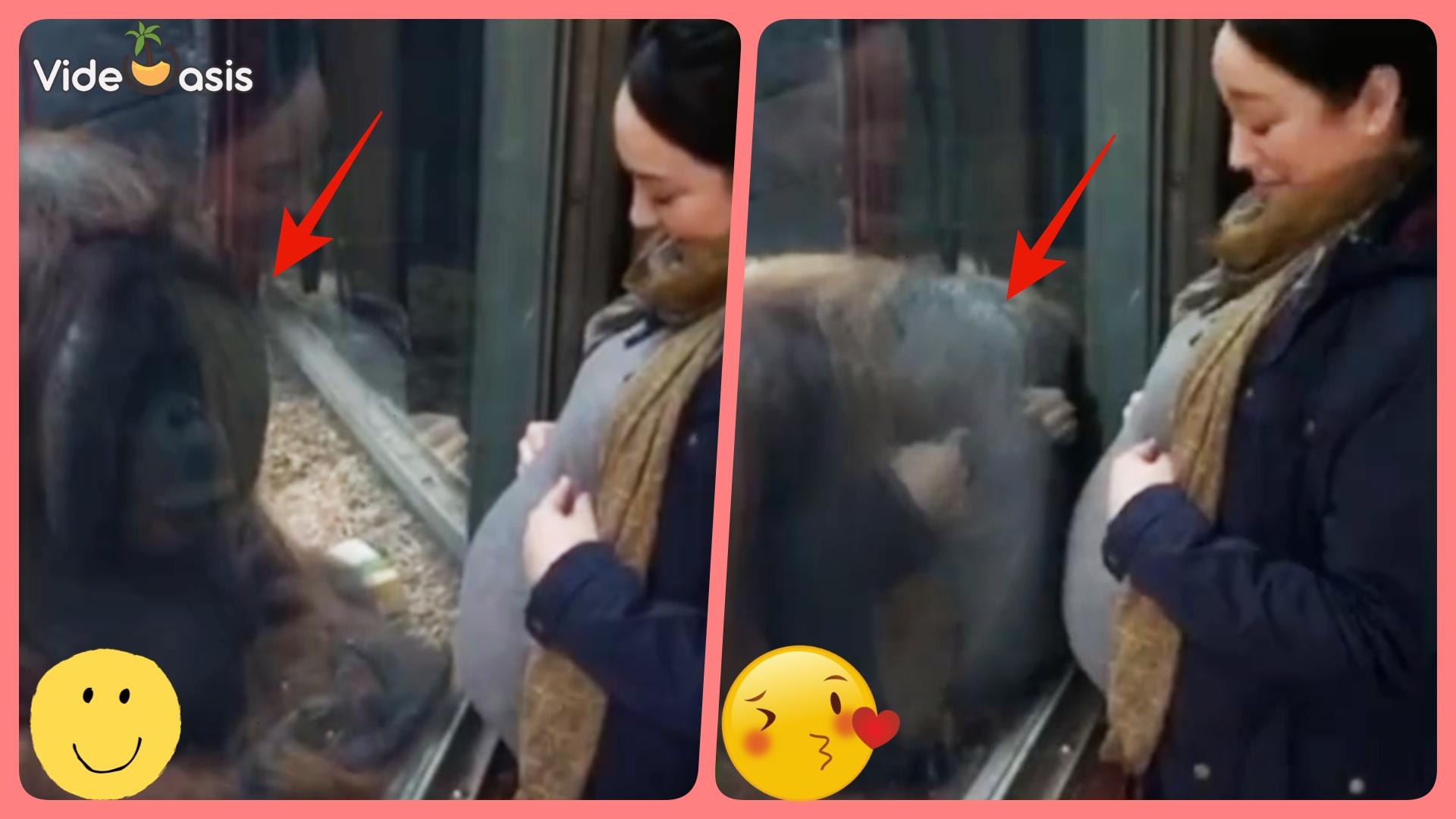 Orangutan Gives Pregnant Woman's Belly a Kiss |VideOasis