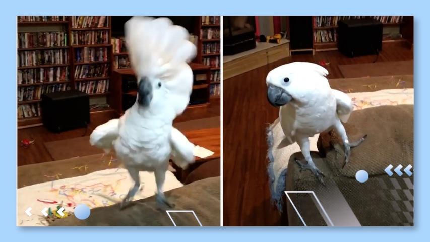 Cockatoo Dances to Bedtime Song