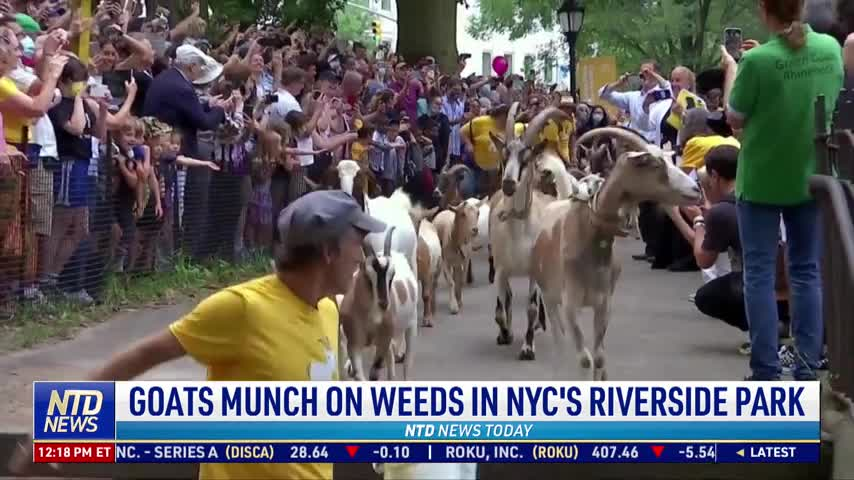 Goats Munch on Weeds in NYC's Riverside Park