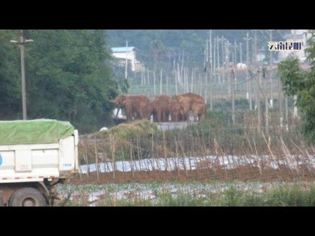 云南昆明大象实拍.Real shots of elephants in Kunming, Yunnan.