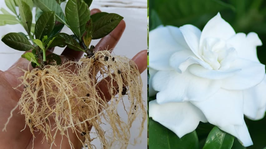 How to grow Gardenia Plant From Cuttings ,Easiest Way to grow Gardenia Plant ,How to grow gardenia