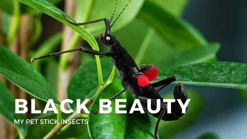My Black Beauty Stick Insects