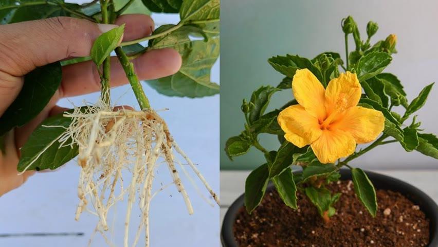 How to grow Hibiscus , Best way to grow hibiscus plant ,how to grow hibiscus plant at home