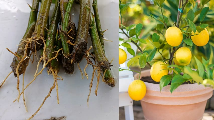 Grow Lemon tree without Using Root hormone   How to grow lemon tree   Lemon tree