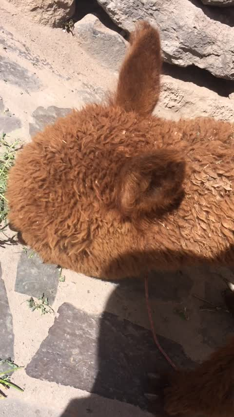 Wild Alpaca Spotted in a City