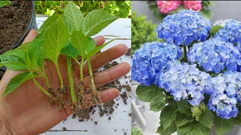 How to grow hydrangea plant ,Easiest way to grow hydrangeas plant from cuttings,Hydrangea plant care