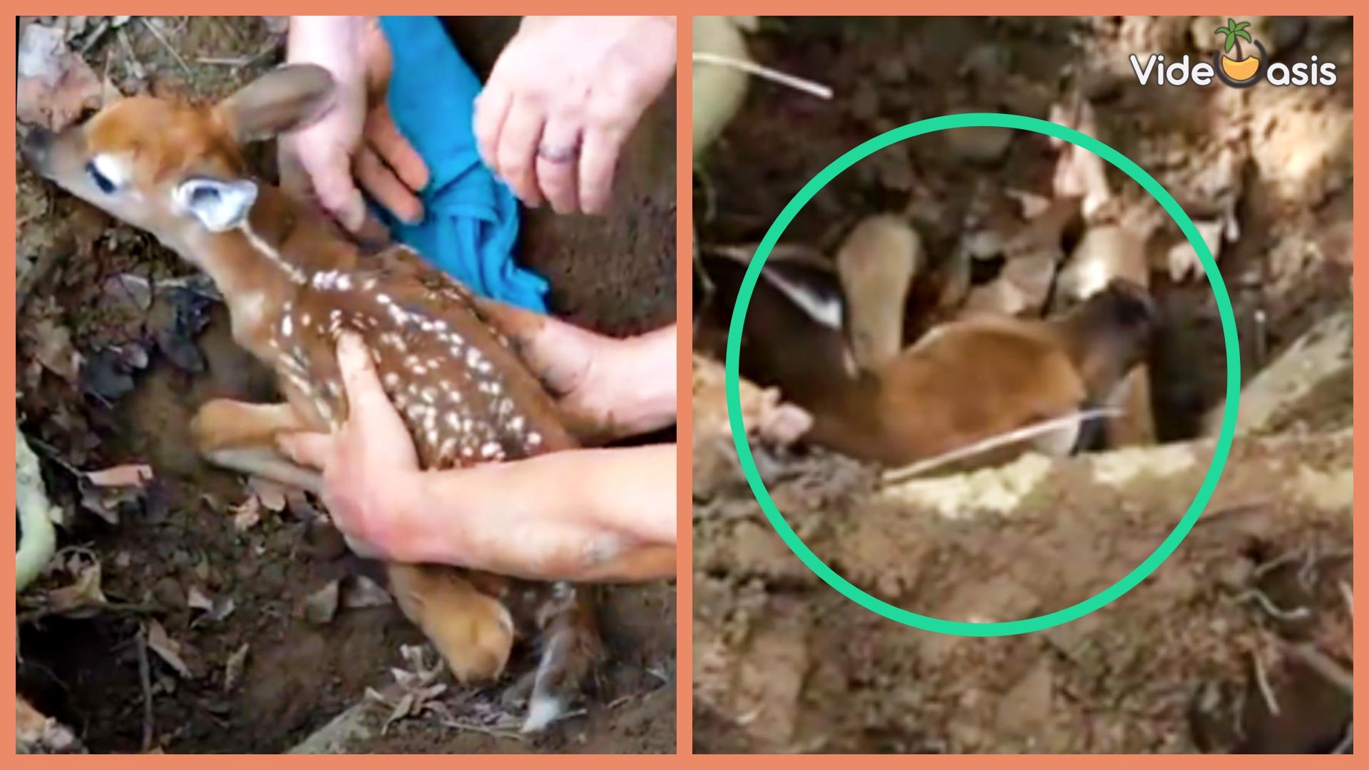 This Poor Baby Deer Stuck in a Groundhog Hole|VideOasis