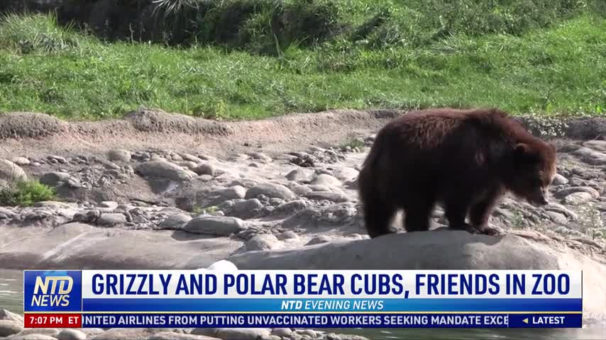 Grizzly and Polar Bear Cubs, Friends in Zoo