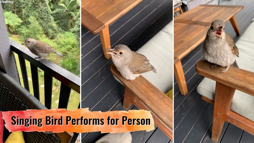 Singing Bird Performs for Person