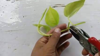 How to grow Pothos from cuttings  Best way to grow Neon Pothos How to grow Neon Pothos and care