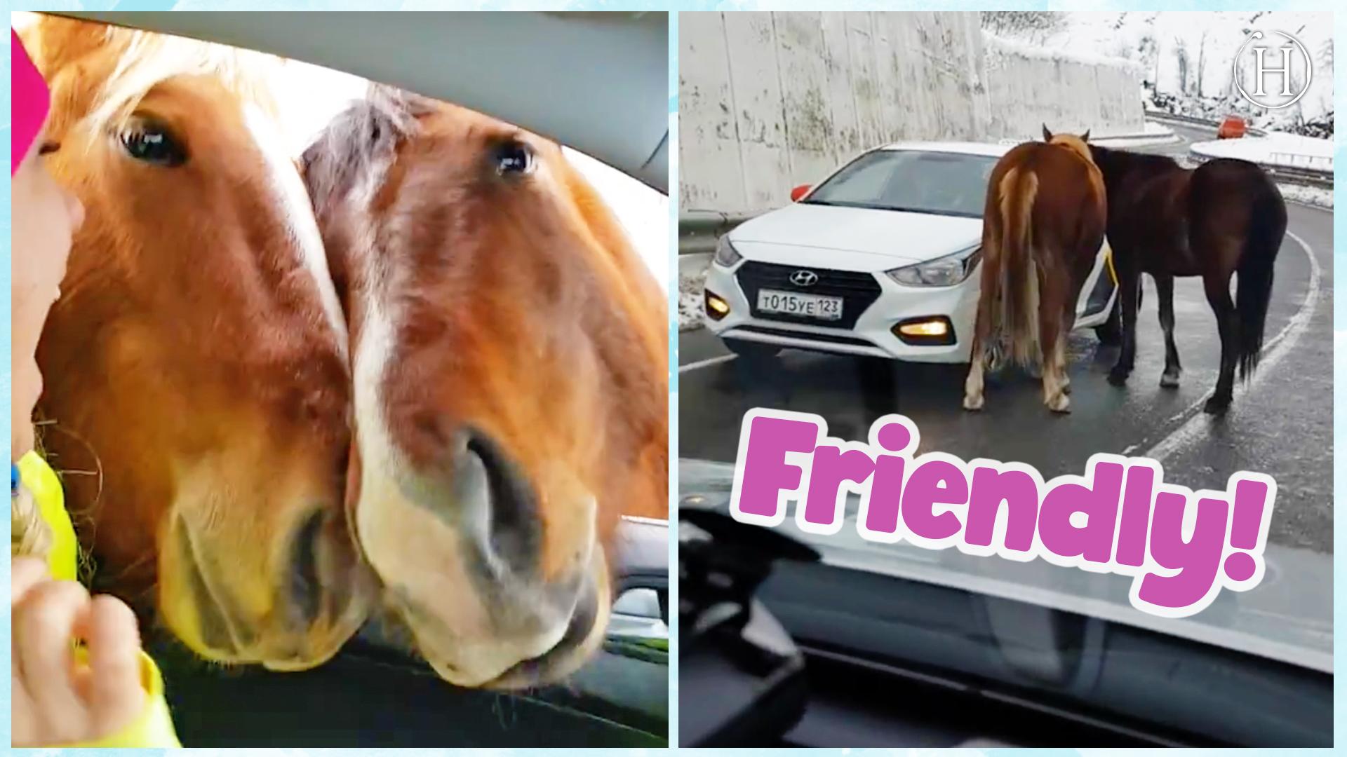 Friendly Horses Block Road | Humanity Life