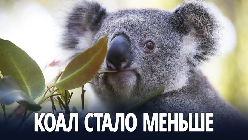 В Австралии популяция коал сократилась на треть за три года