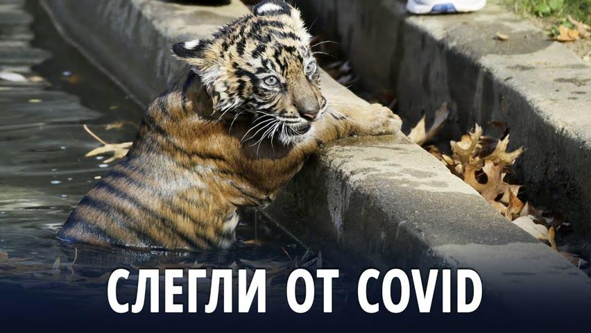 В зоопарке Вашингтона львы и тигры выздоравливают после коронавируса