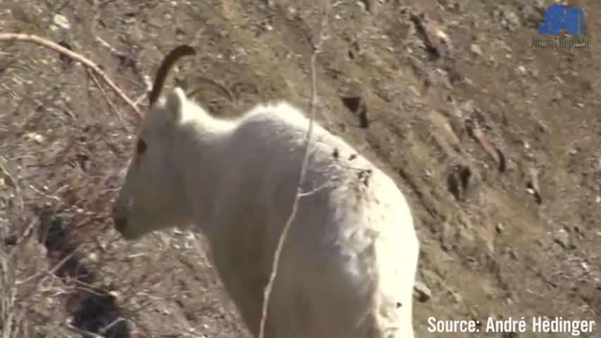 Dall Sheep in Yukon