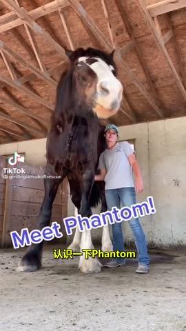夏爾馬是世界上體型最大的馬種之一,站在身邊安全感滿滿(視頻)