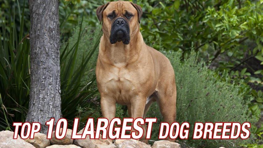 TOP TEN LARGEST DOG BREEDS