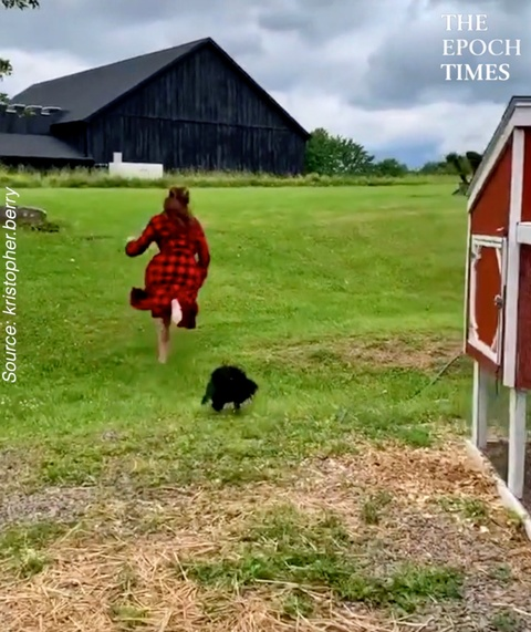 Rooster Chases Woman Every Morning