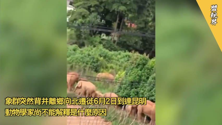 象群突然背井離鄉向北遷徙6月2日到達昆明,動物學家尚不能解釋是什麼原因。