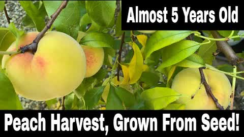 Peach Tree Grown From Seed - First Harvest!