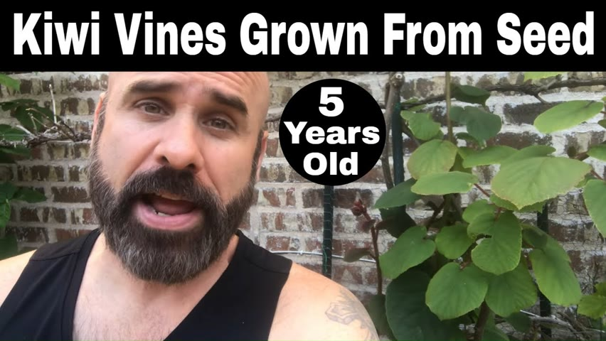 Kiwi Vines Grown From Seed - 5 Years Old (60 Months)
