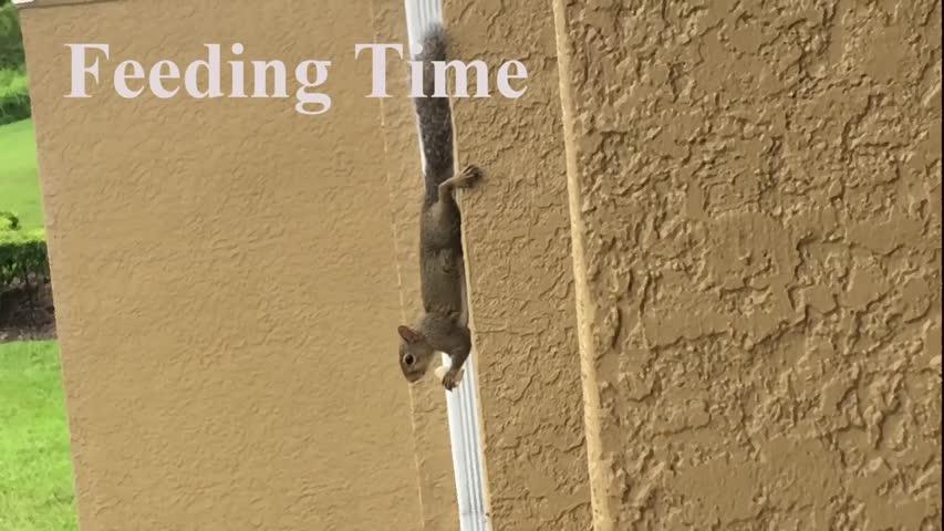 Gravity Defying Squarrel