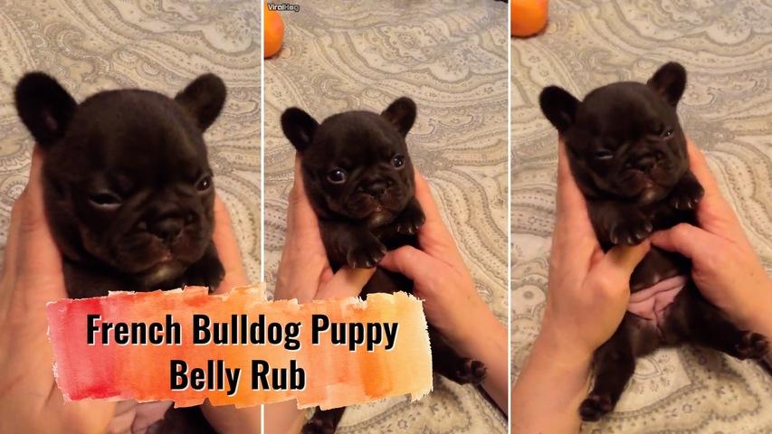 French Bulldog Puppy Belly Rub