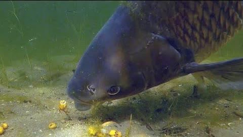 Catching a big carp underwater (Amur)