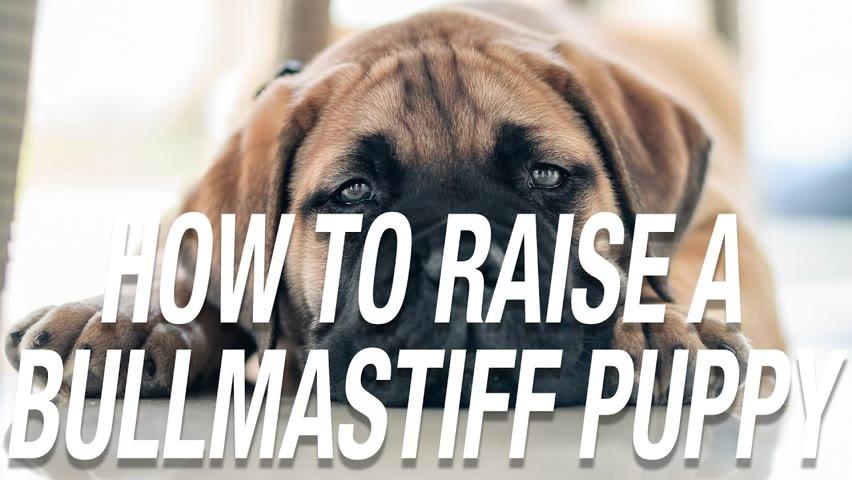 HOW TO RAISE A BULLMASTIFF PUPPY