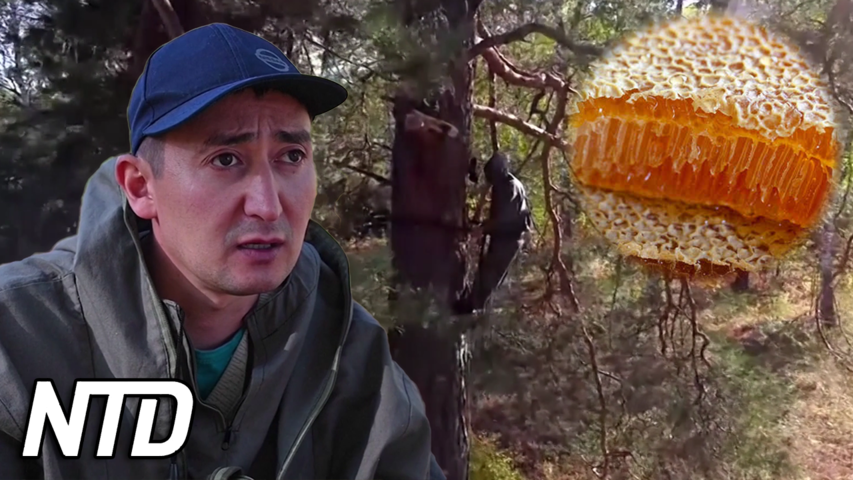 Rysk man ärver traditionen med honungsjakt | NTD NYHETER