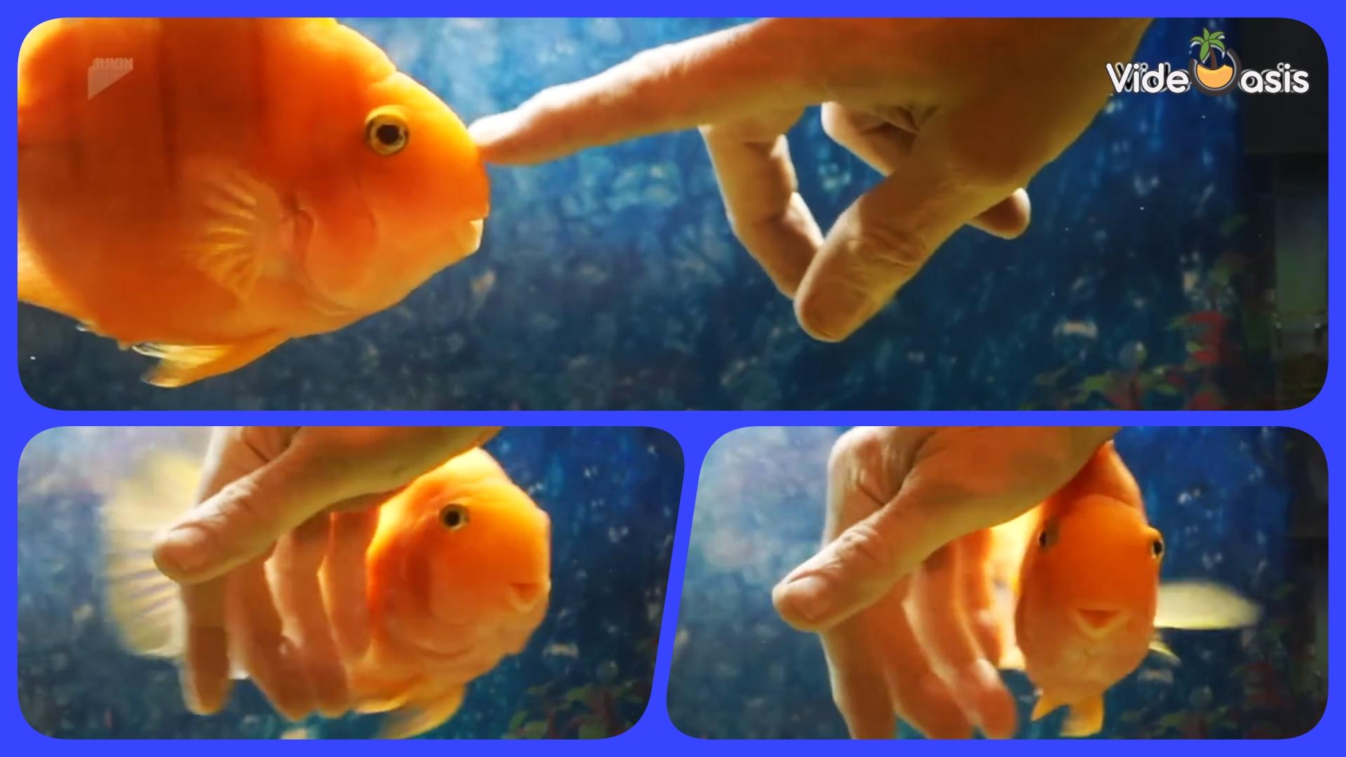 Fish Swims Between Owner's Fingers |VideOasis