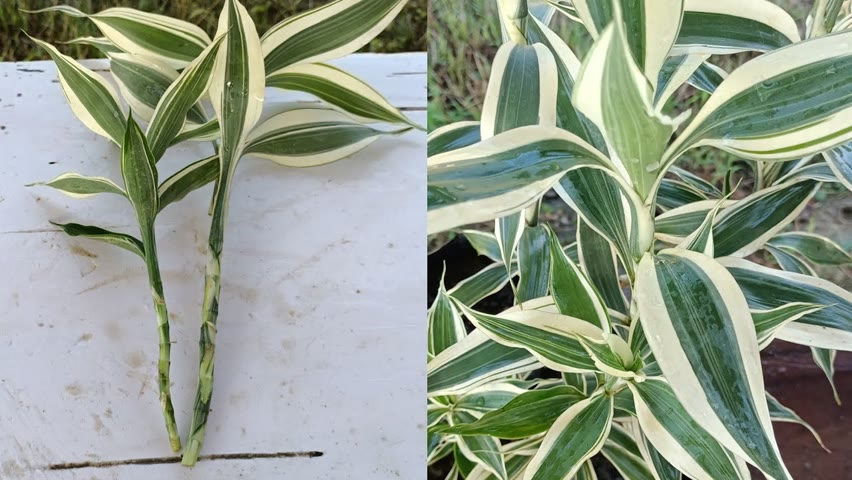 Dracaena reflexa propagation process | how to grow dracaena plant |Dracaena reflexa Cuttings