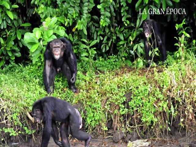 Monos sobrevivientes de experimentos médicos sobreviven en una isla africana