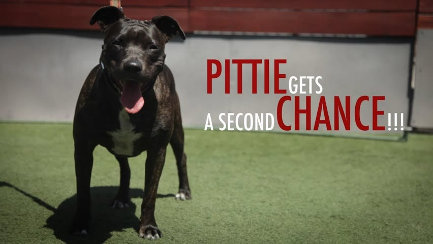 RESCUE PITBULL GETS SECOND CHANCE
