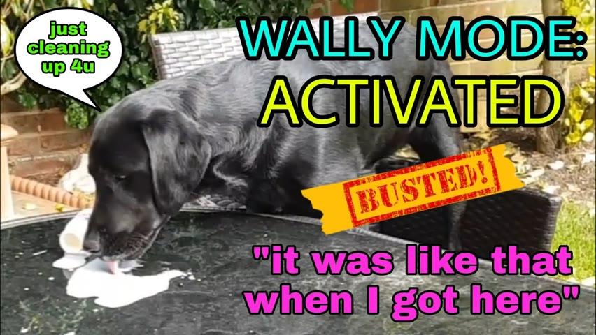 🐶 Dexter Dog   My Black Labrador Being a Wally Compilation   Guilty Dog   Gorgeous Weirdo 🐾