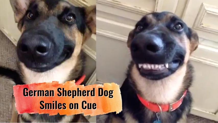 German Shepherd Dog Smiles on Cue