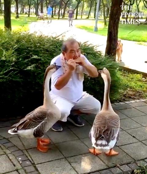 Geese Gather Around Man Playing the Harmonica in Taiwan