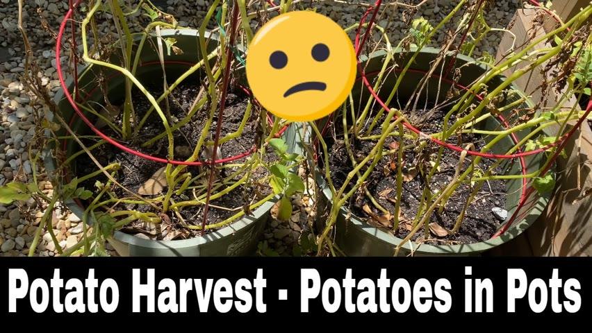 Harvesting Potatoes - Growing Potatoes in Pots (Kind of)