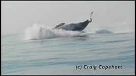 Humpback Whale Seen Jumping Clear Out of the Water Off South Africa