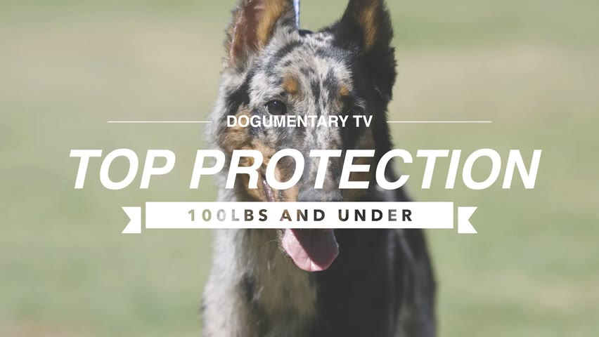 TOP 10 PROTECTION DOGS 100LBS AND UNDER