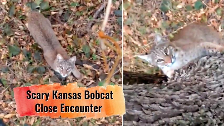 Kansas Bobcat Close Encounter