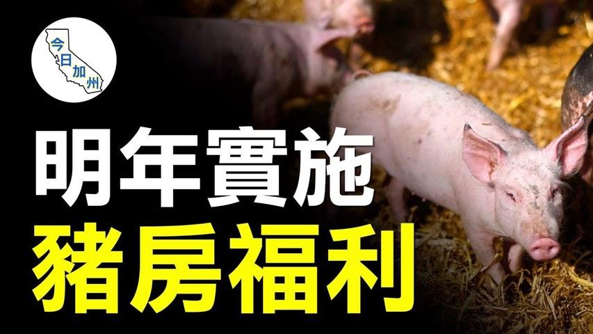 加州要求擴大豬雞住所 肉價恐水漲船高 | 今日加州
