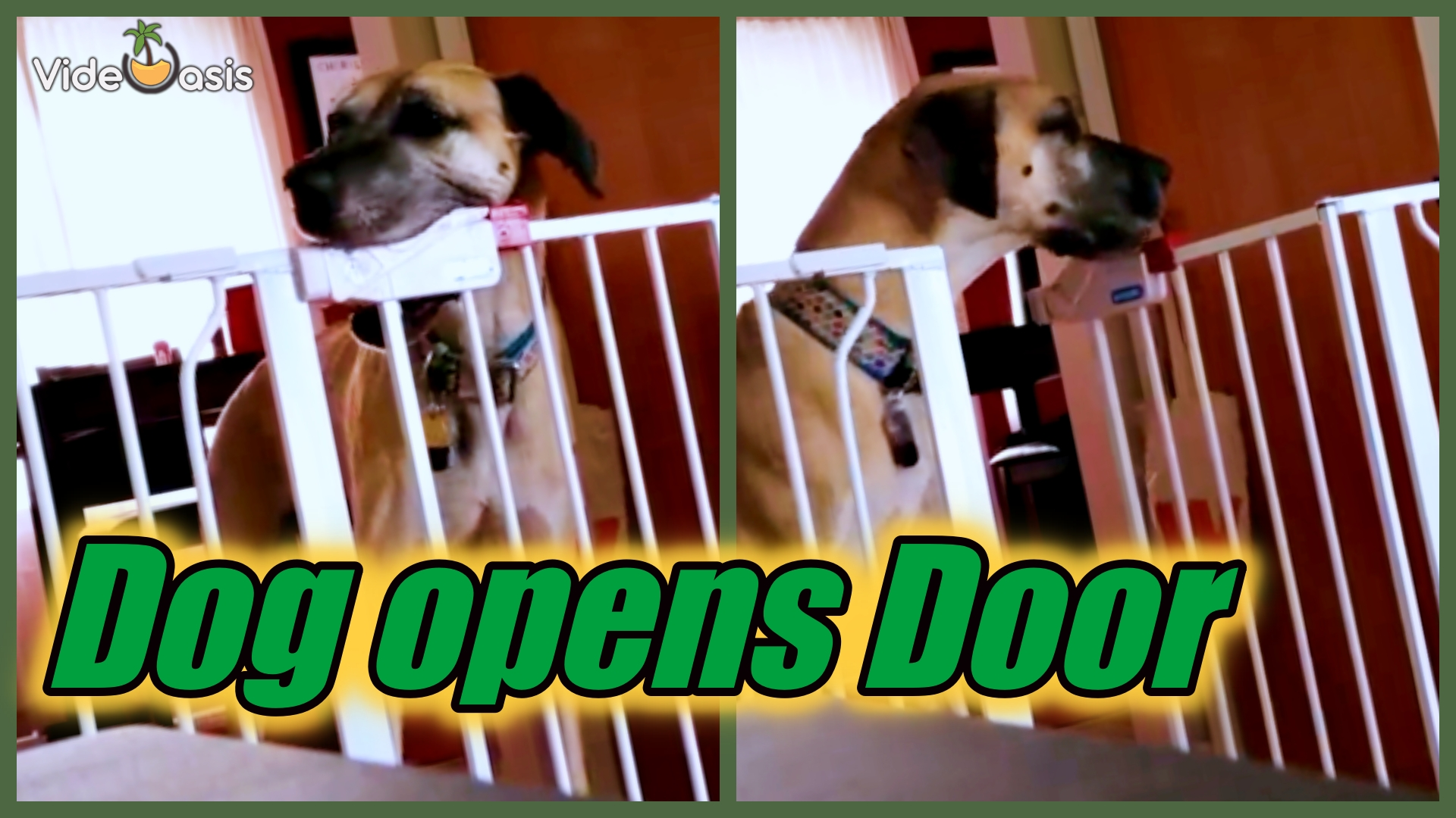 Great Dane Learns How to Unlock the Baby Railing|VideOasis