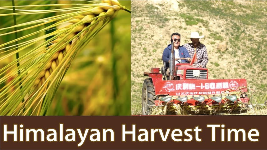 Himalayan Harvest Season: 2000KG Barley! How to Harvest in Highland Village? Daily Life of a Farmer.