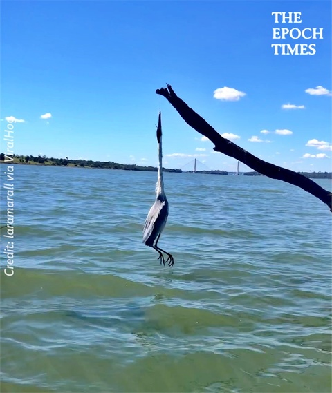 Rescuing a Heron Hanging From a Tree
