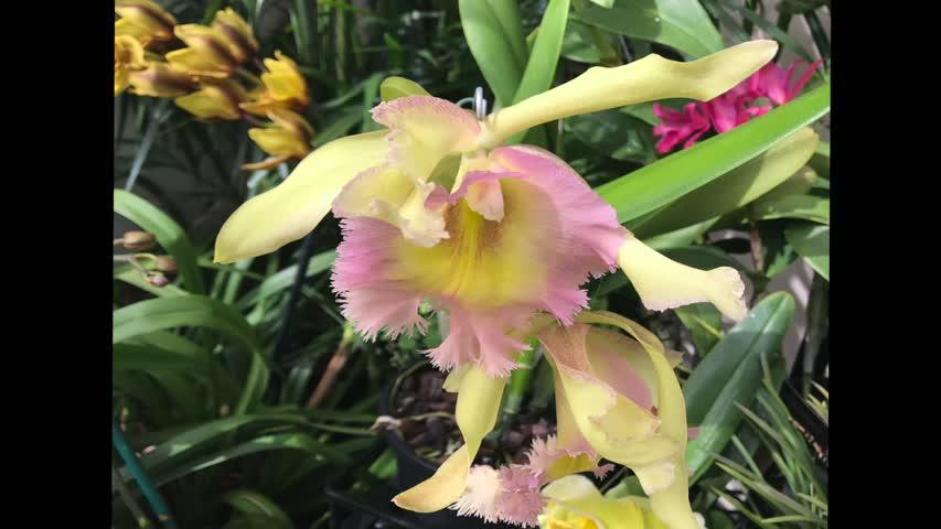 長木公園蘭花集錦---Longwood Garden Orchid Gallery/An Angel Of This World(天使在人间第3期)