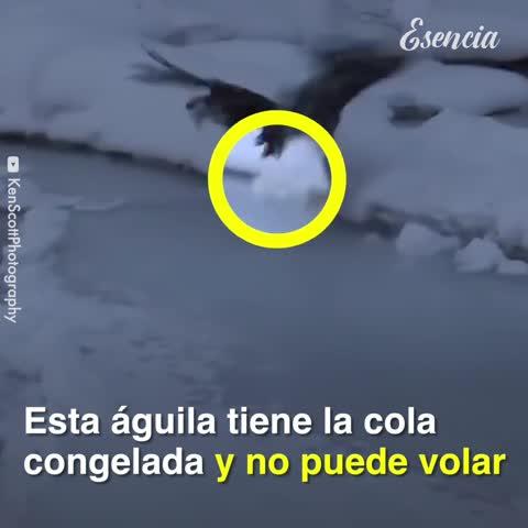 Encuentran a un águila atascada en un lago congelado y la rescatan